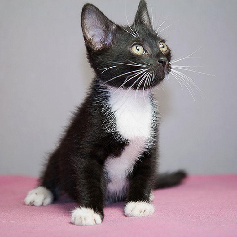 Котнок Франтик в дар 2 месяца. Приучен к лотку