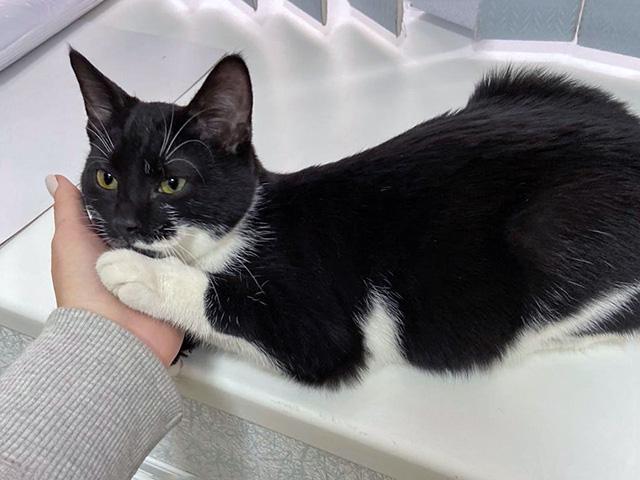 Маленький маркиз Аксель, чудесный ласковый котенок в добрые руки