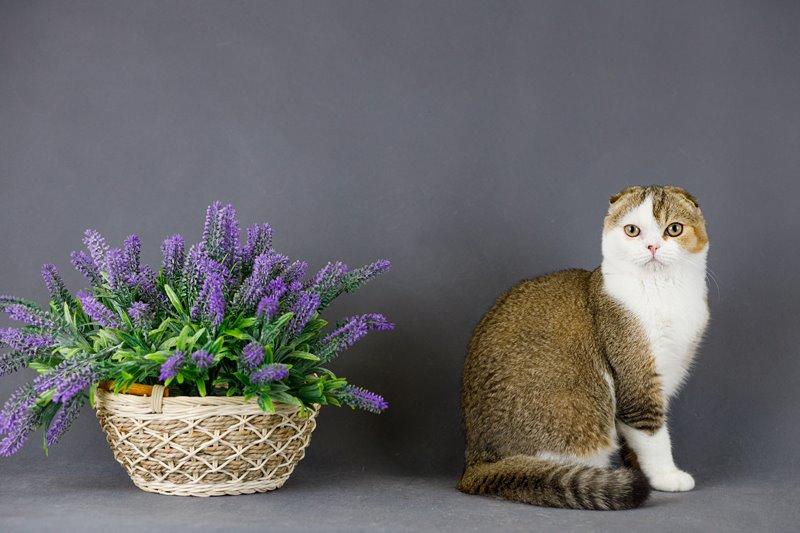 Красивейшие шотландские котята